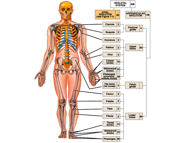 Sistema Skeletal - El Cuerpo Humano